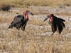 SouthernGroundHornbill (1)