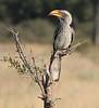 SouthernYellowBilledHornbill (3)