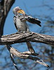 SouthernYellowBilledHornbill (6)