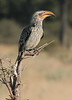 SouthernYellowBilledHornbill (2)