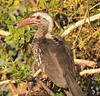 RedBilledHornbill (3)