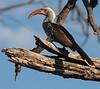 RedBilledHornbill (6)