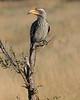 SouthernYellowBilledHornbill (1)
