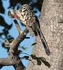 RedBilledHornbill (2)