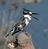 Pied_Kingfisher_Botswana_2008_0003