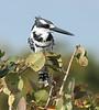 Pied_Kingfisher_Botswana_2008_0006