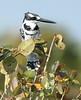 Pied_Kingfisher_Botswana_2008_0001