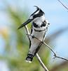 Pied_Kingfisher_Botswana_2008_0007