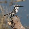 Pied_Kingfisher_Botswana_2008_0004