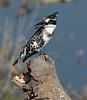 Pied_Kingfisher_Botswana_2008_0005