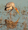 YellowBilledStork (2)