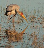 YellowBilledStork (1)