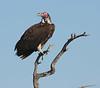 Lappet_Faced_Vulture_Botswana_2010_0002
