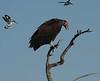 Lappet_Faced_Vulture_Botswana_2010_0003