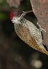 Bearded_Woodpecker_Botswana_2008_0001