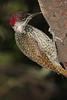 Bearded_Woodpecker_Botswana_2008_0003