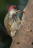 Bearded_Woodpecker_Botswana_2008_0002