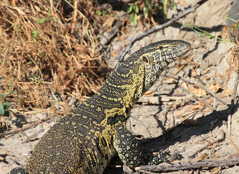 Monitor_Lizard_Botswana (5)