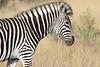 Zebra_Botswana (11)