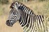 Zebra_Botswana (12)