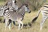 Zebra_Botswana (2)