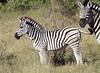 Zebra_Botswana (6)