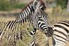 Zebra_Botswana (4)