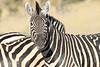 Zebra_Botswana (9)