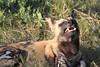 African_Wild-dog_Botswana (21)