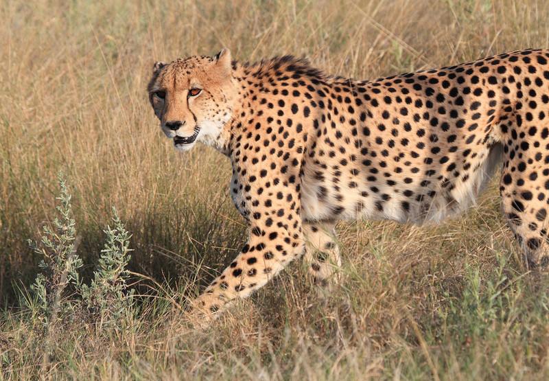 Cheetah_Botswana (9)
