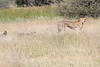 Cheetah_Botswana (70)