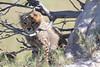 Cheetah_Botswana (86)