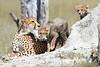 Cheetah_Botswana (35)
