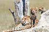 Cheetah_Botswana (52)