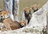 Cheetah_Botswana (93)