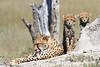 Cheetah_Botswana (33)