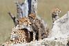 Cheetah_Botswana (85)