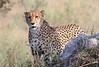 Cheetah_Botswana (26)