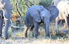 Elephant_Botswana (35)