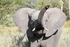 Elephant_Botswana (139)
