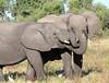 Elephant_Botswana (89)