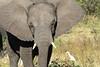 Elephant_Botswana (73)