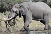 Elephant_Botswana (45)