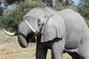 Elephant_Botswana (81)