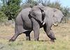 Elephant_Botswana (128)