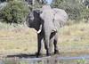 Elephant_Botswana (158)