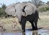 Elephant_Botswana (122)