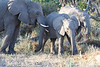 Elephant_Botswana (58)