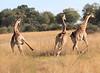 Giraffe_Botswana (41)