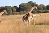 Giraffe_Botswana (51)